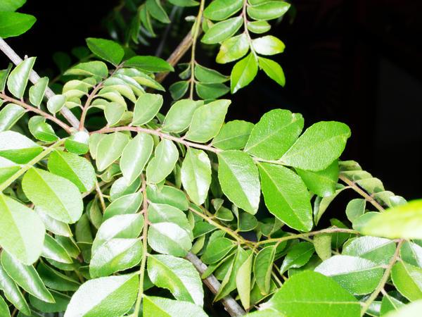 Curry-tree-leaves-15.jpeg