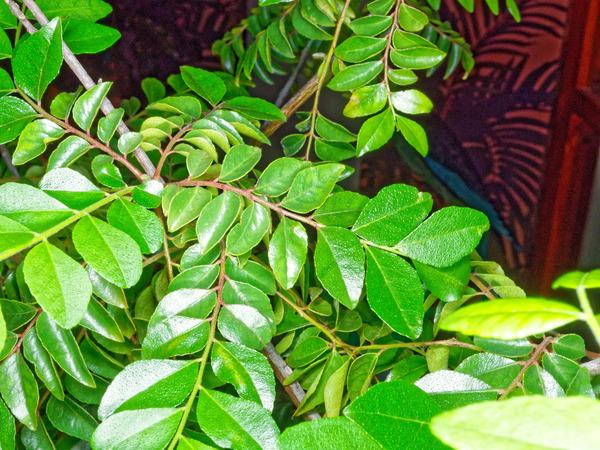 Curry-tree-leaves-17.jpeg