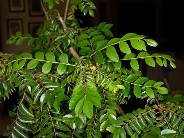 Curry-tree-leaves-6.jpeg