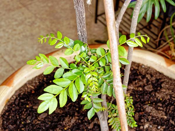 Curry-tree-leaves-9.jpeg