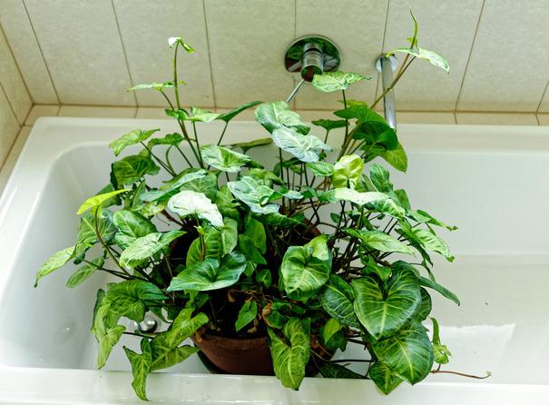 Syngonium-podophyllum-1.jpeg
