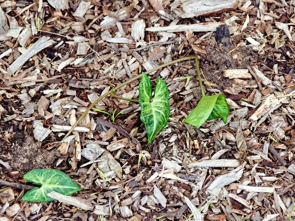 Syngonium-podophyllum-2.jpeg