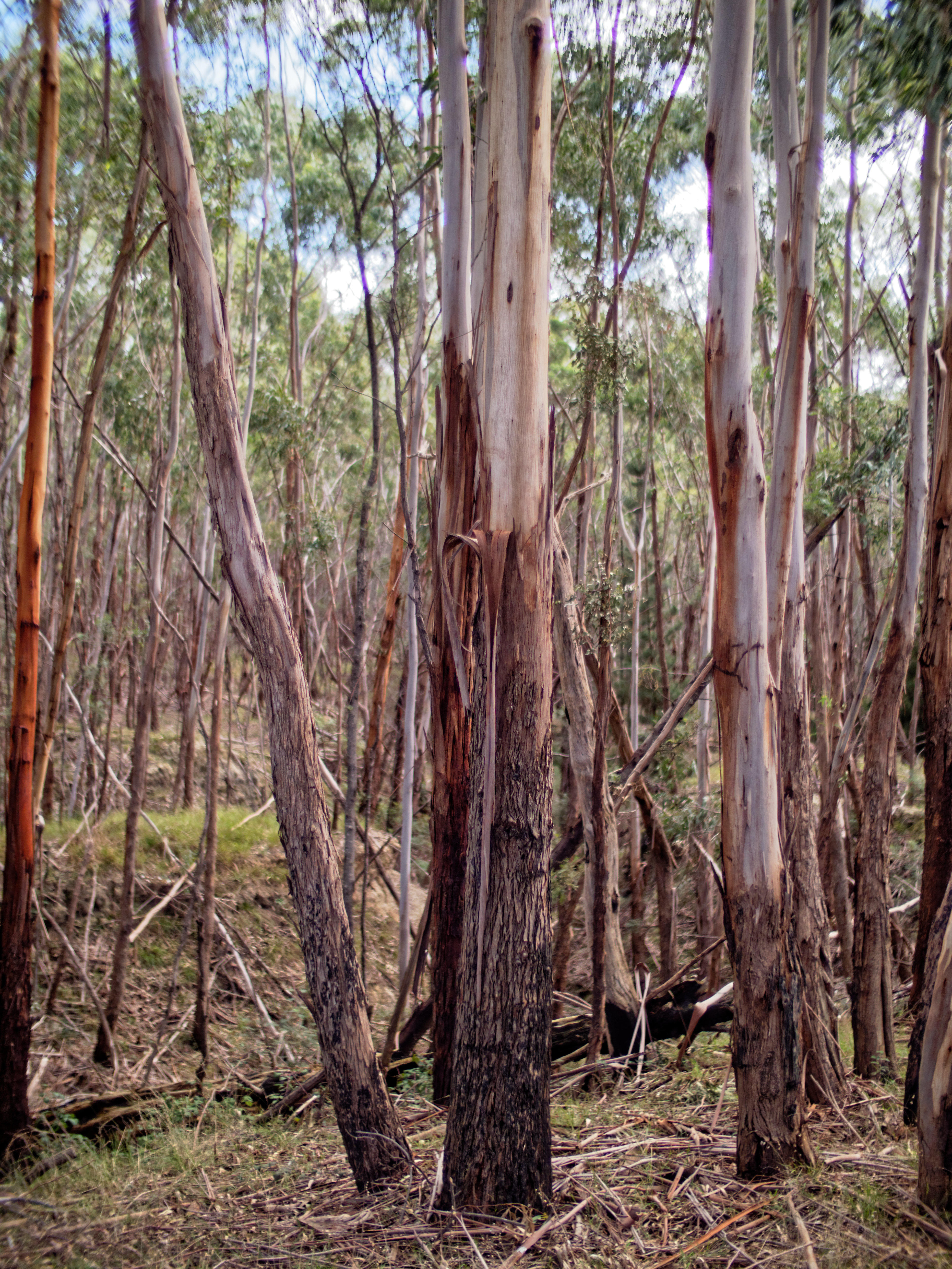 Gum-trees-1.jpeg