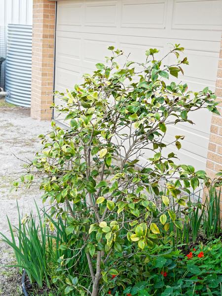 Camellia-japonica.jpeg