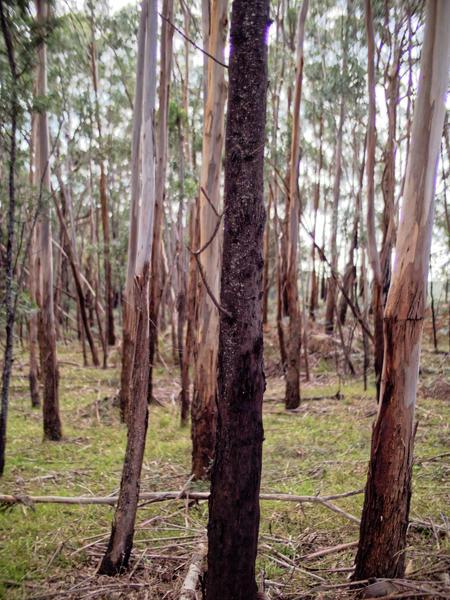 Gum-trees-3.jpeg