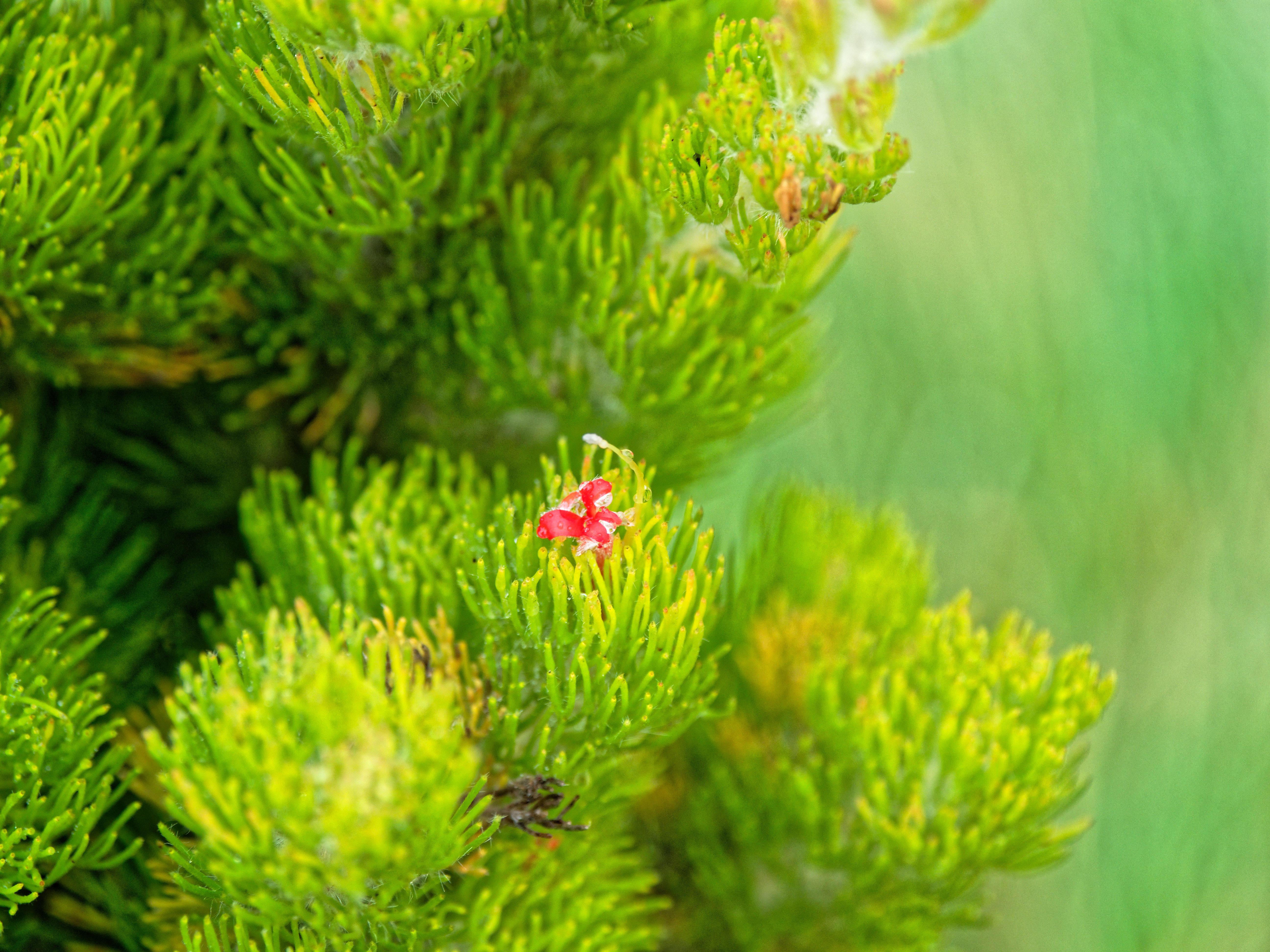 Adenanthos-sericeus-5.jpeg