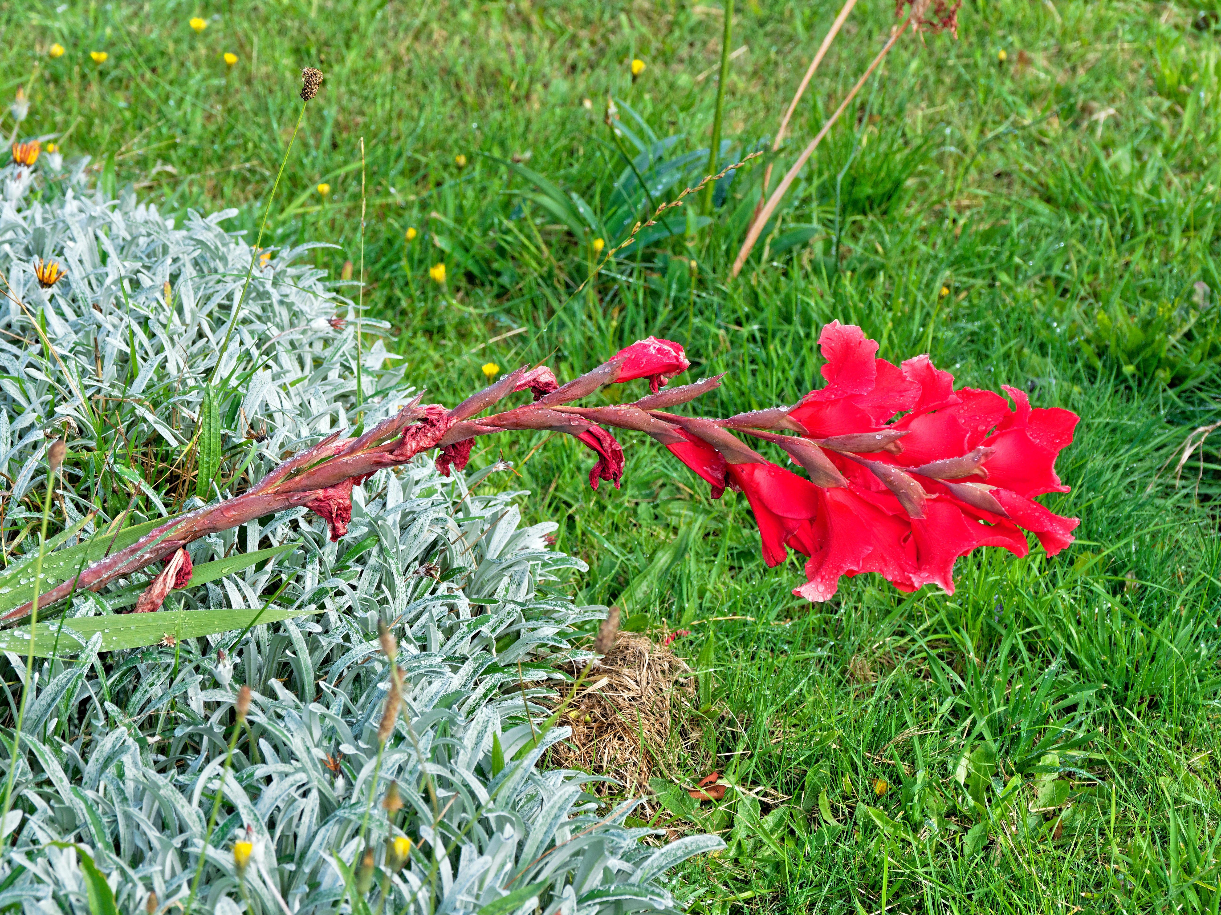 Gladiolus.jpeg
