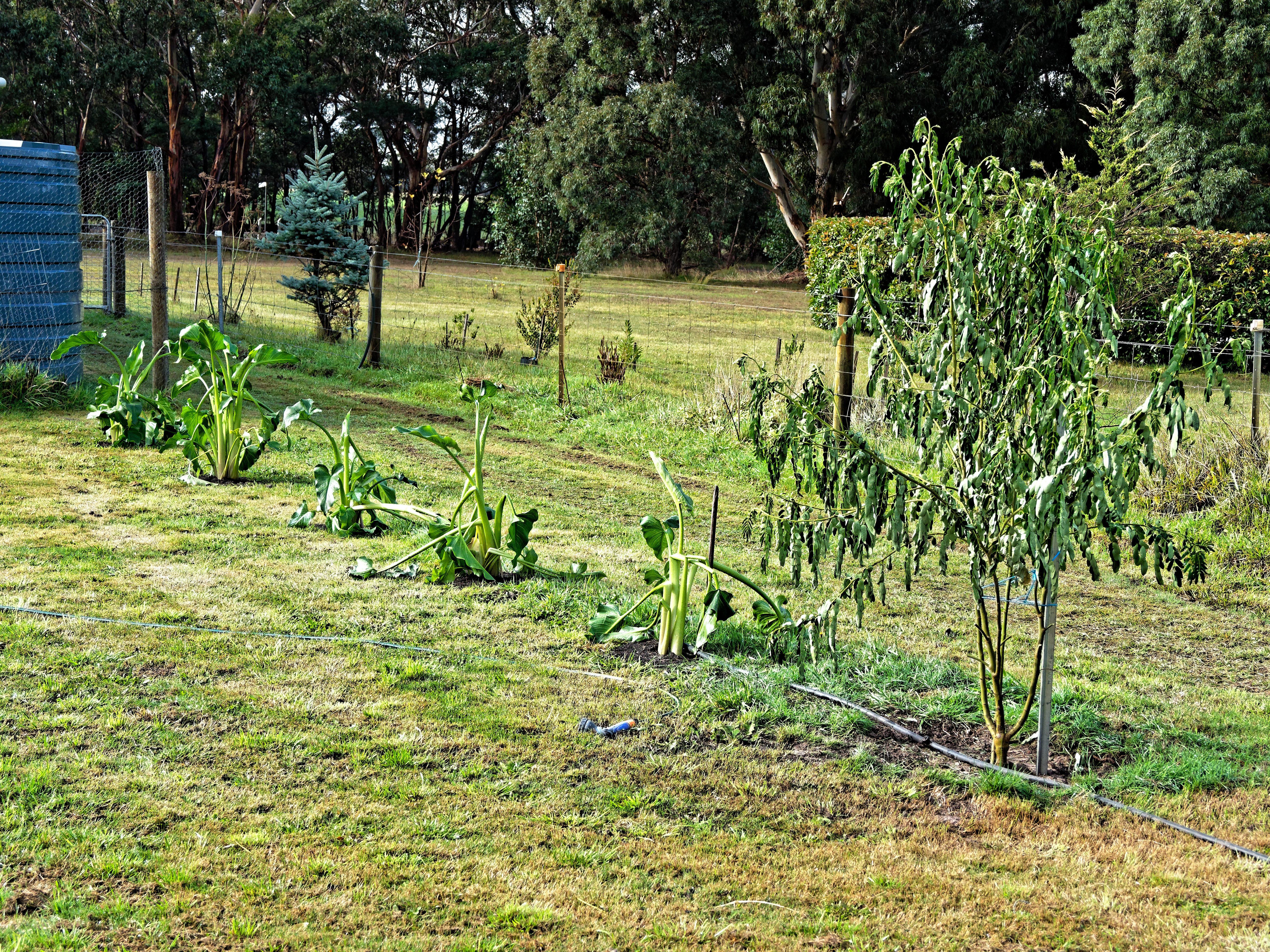 Robinia-pseudoacacia-1.jpeg