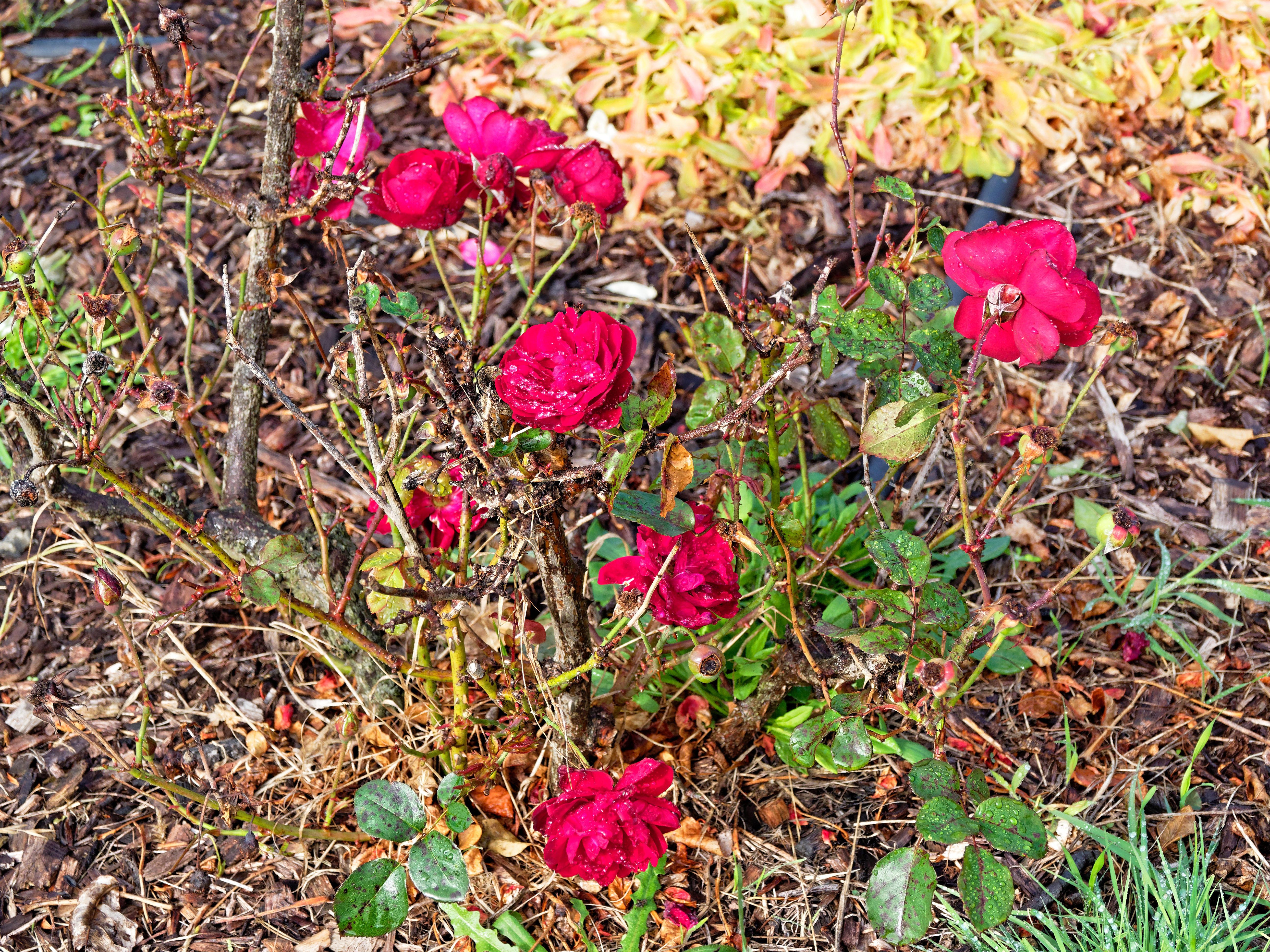 Roses-3.jpeg