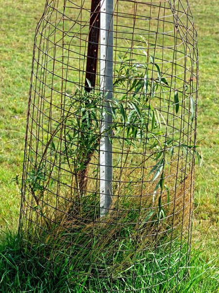 Salix-babylonica.jpeg
