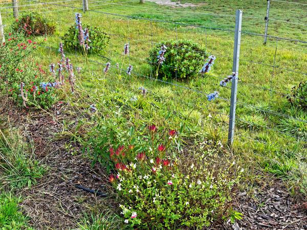 Salvia-protea.jpeg