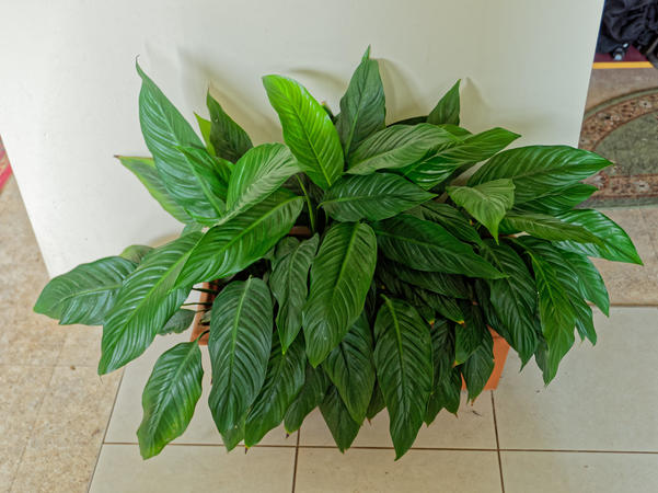 Spathiphyllum-2.jpeg