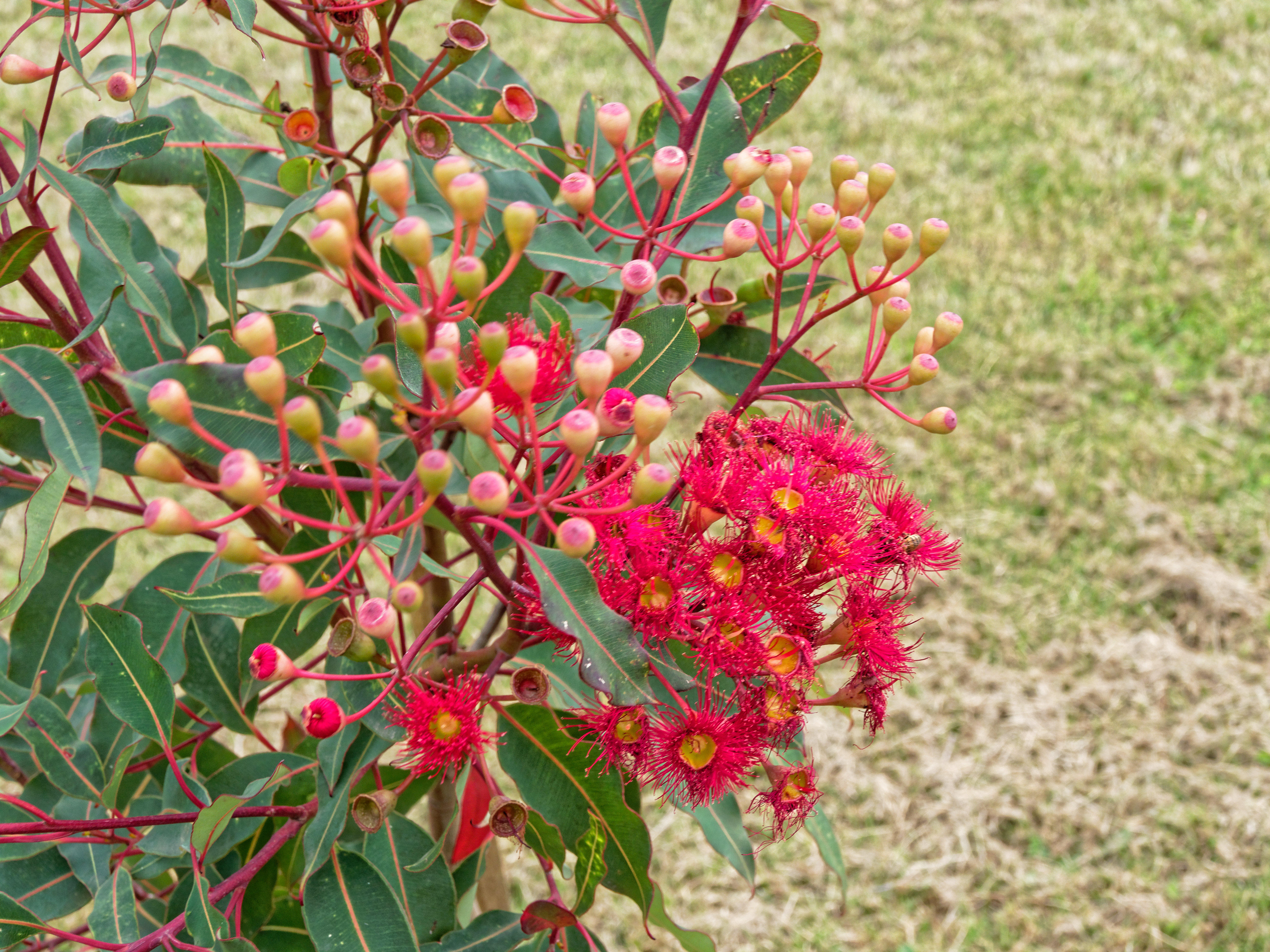 This should be Corymbia-ficifolia-2.jpeg.  Is it missing?
