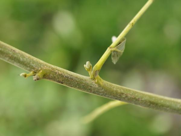 Robinia-pseudoacacia-3.jpeg