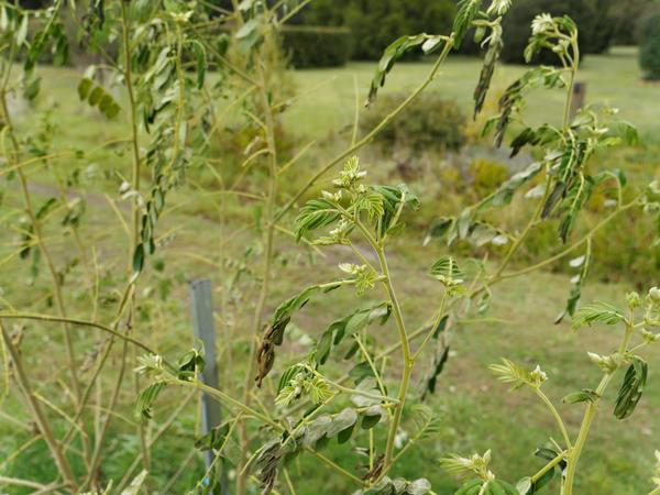 Robinia-pseudoacacia-5.jpeg