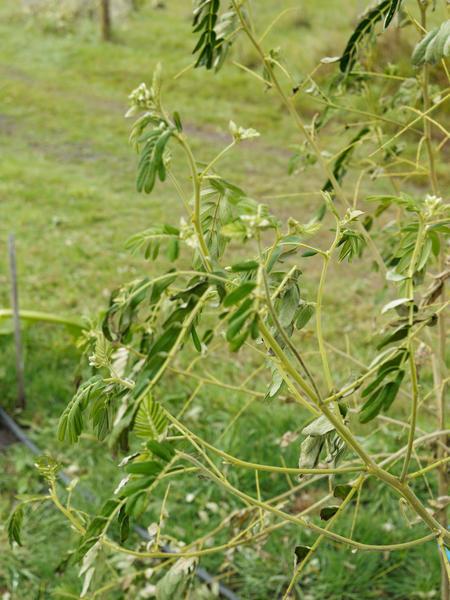 Robinia-pseudoacacia-6.jpeg