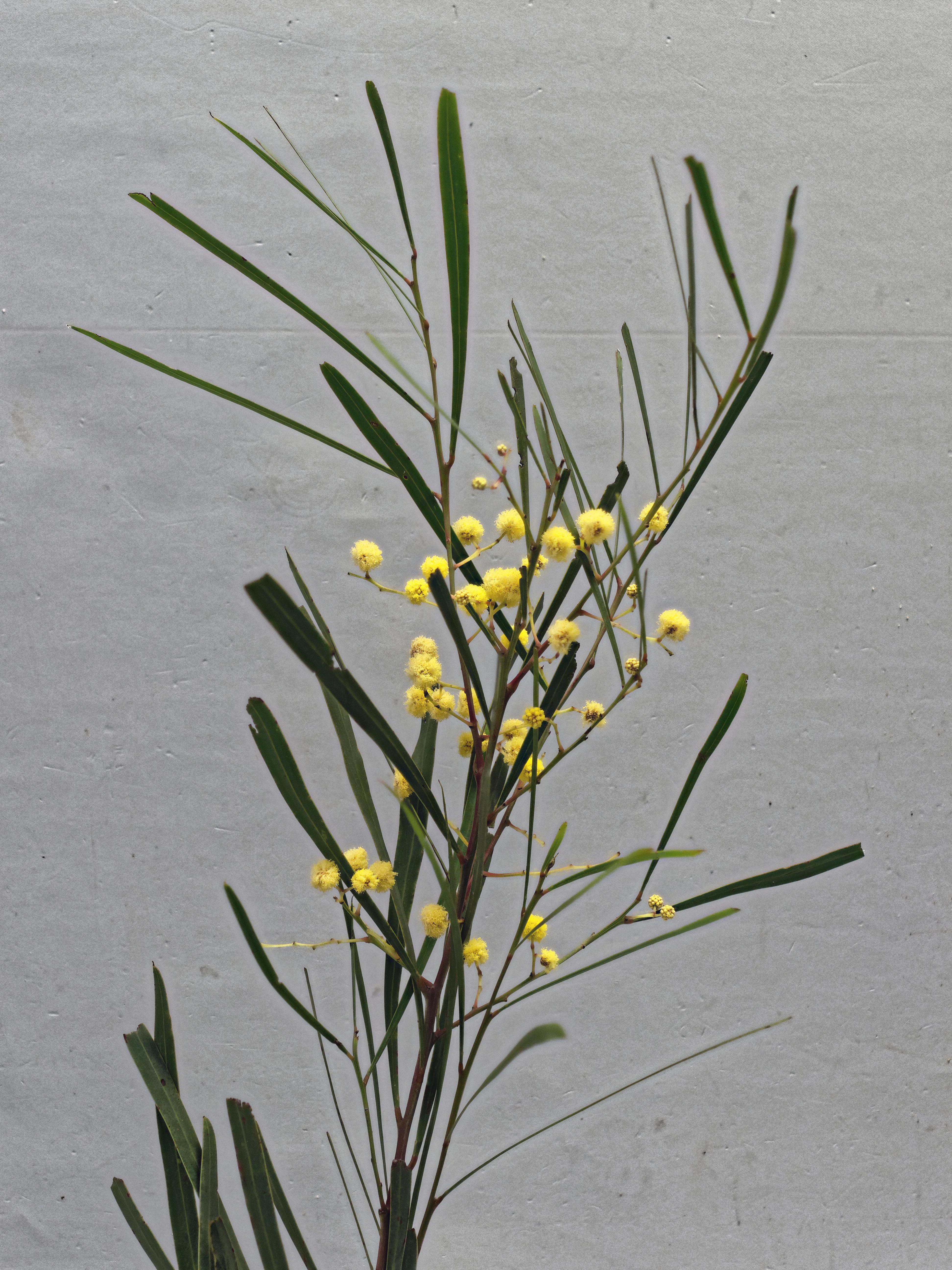Acacia-mysteriosa-2-PMax.jpeg