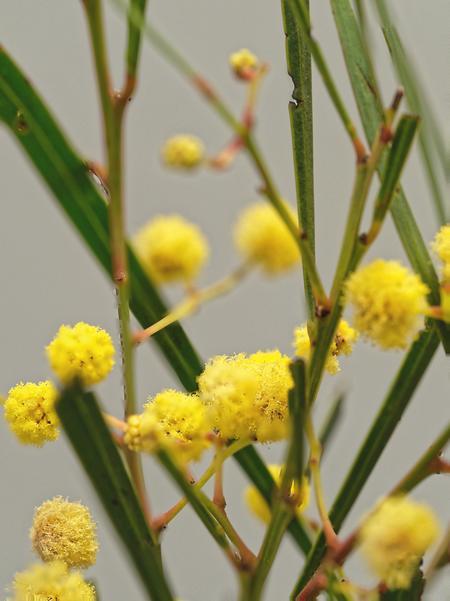 Acacia-mysteriosa-3-DMap.jpeg