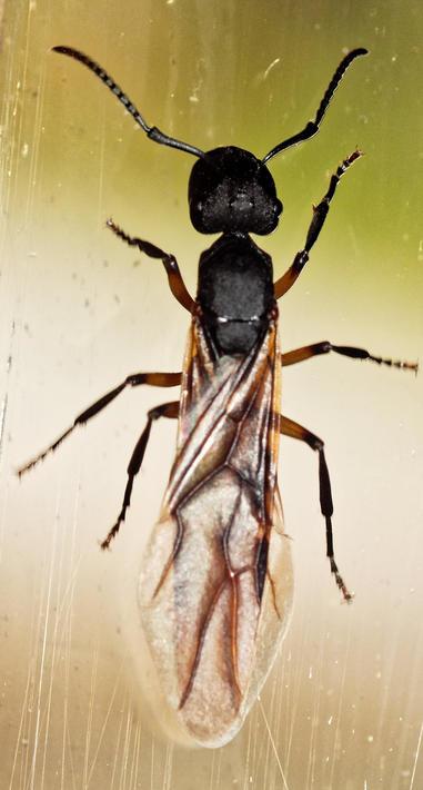 Flying-ant-5.jpeg