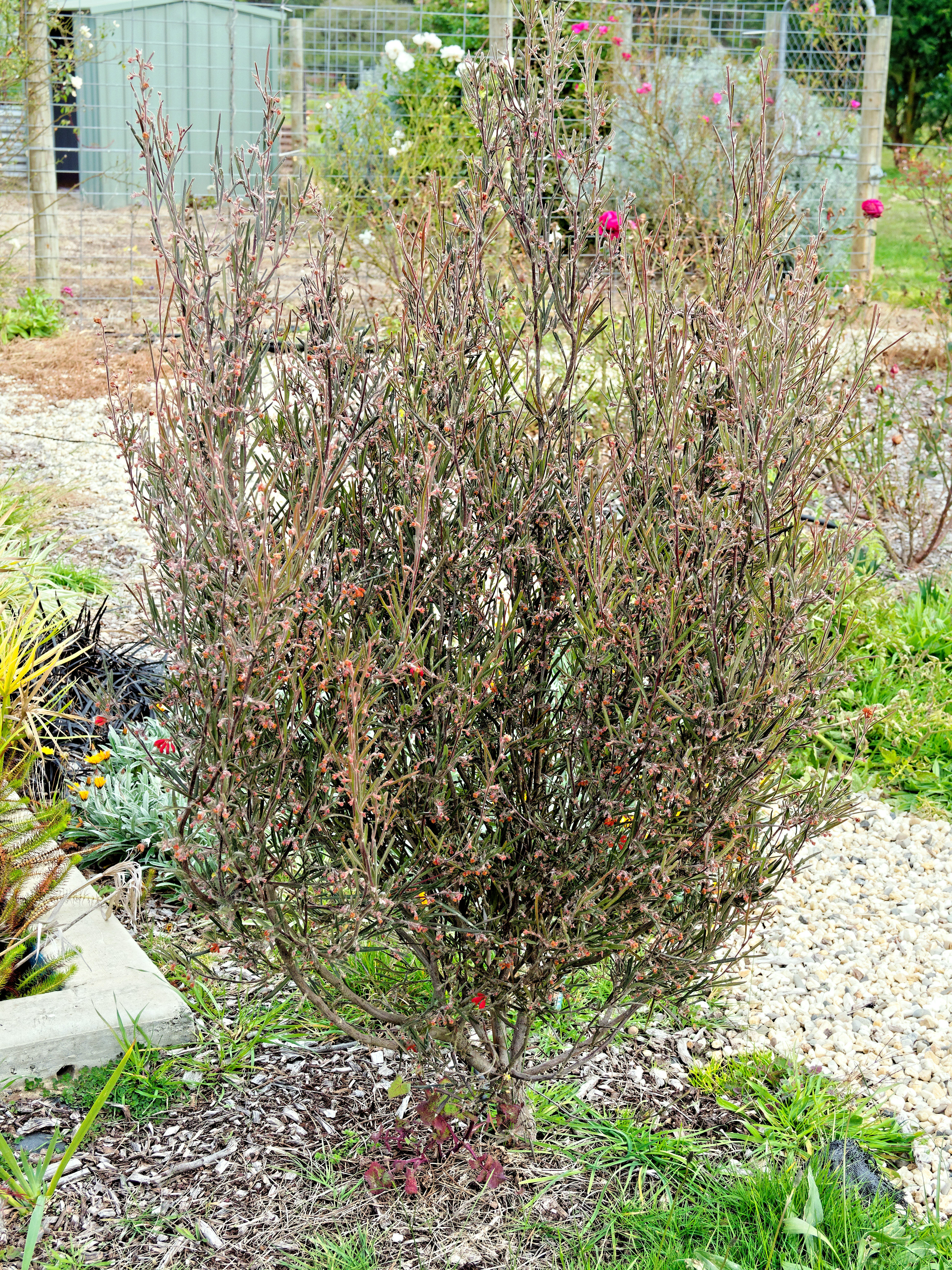 This should be Grevillea-5.jpeg.  Is it missing?