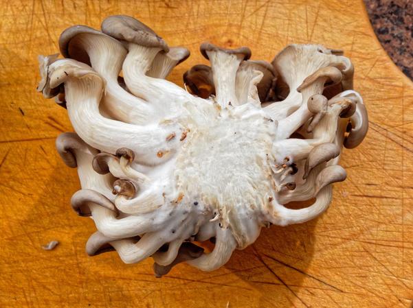 Pearl-mushrooms-3.jpeg