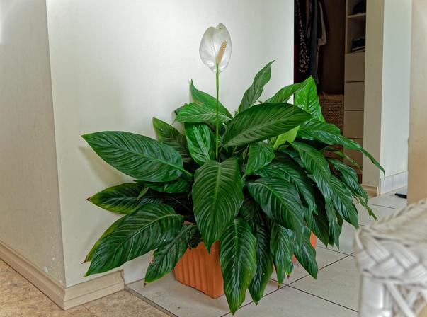 Spathiphyllum-1.jpeg