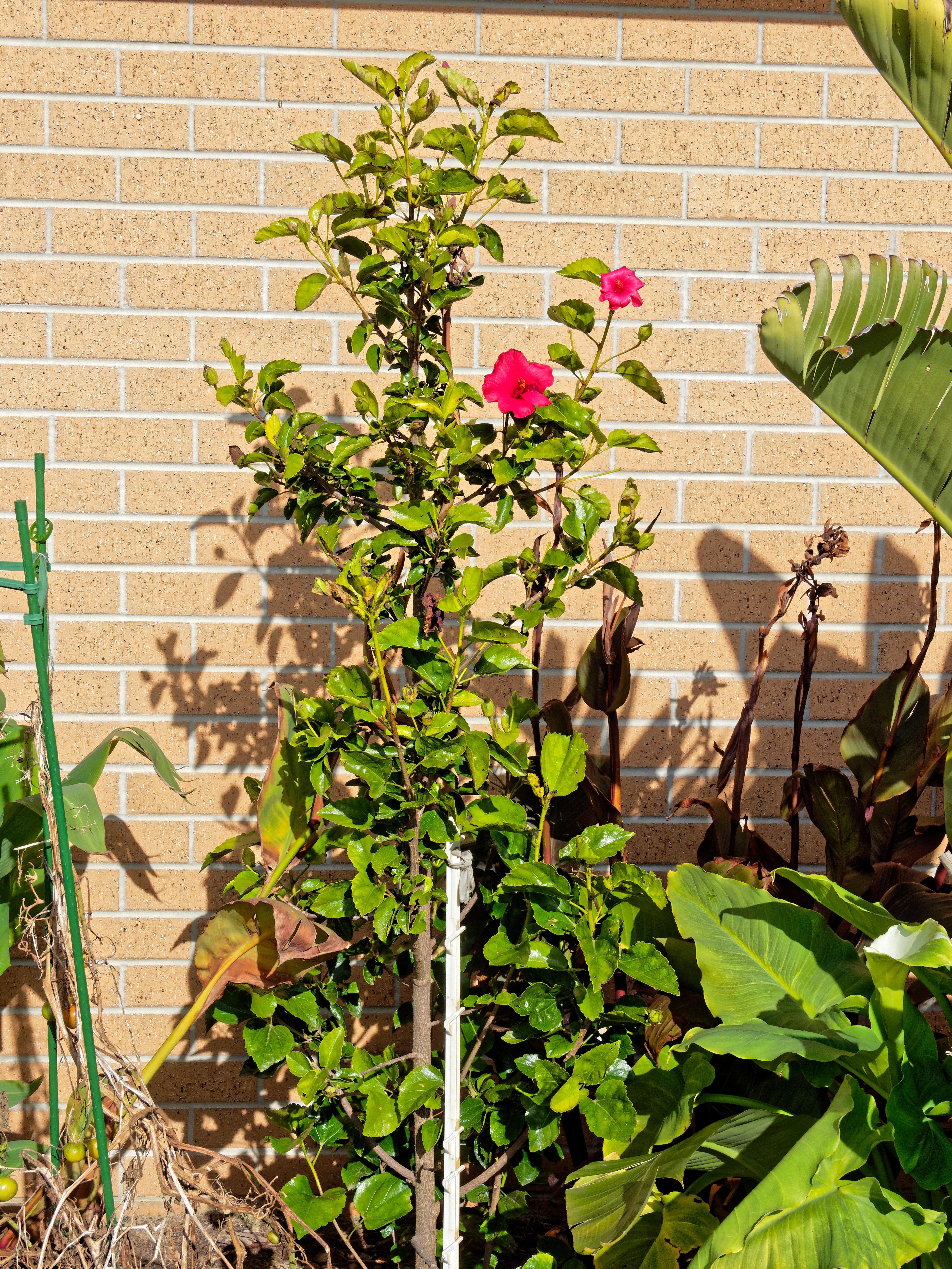 Hibiscus-rosa-sinensis-1.jpeg