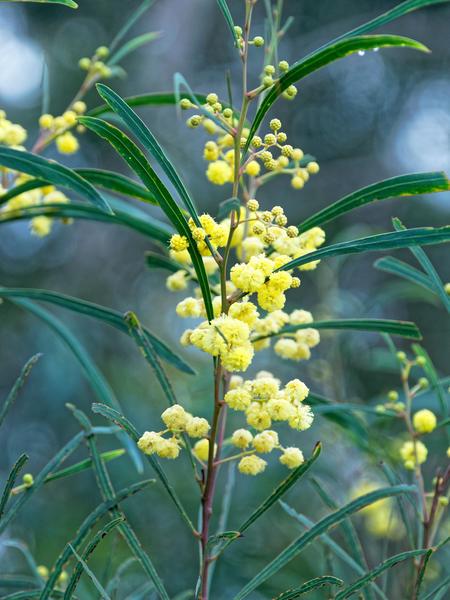 Acacia-2.jpeg