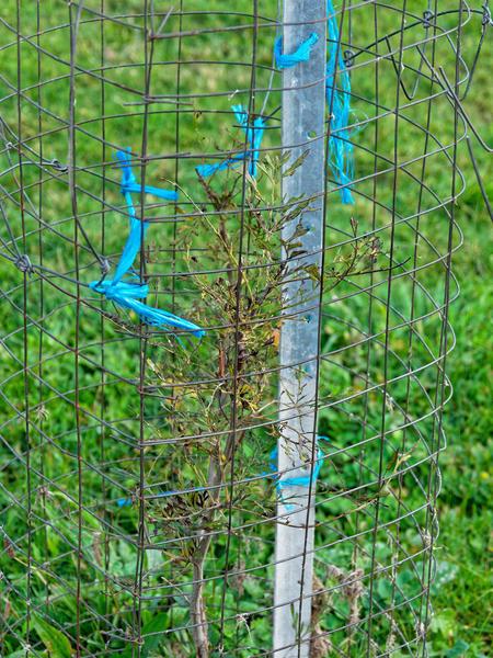 Grevillea-robusta.jpeg