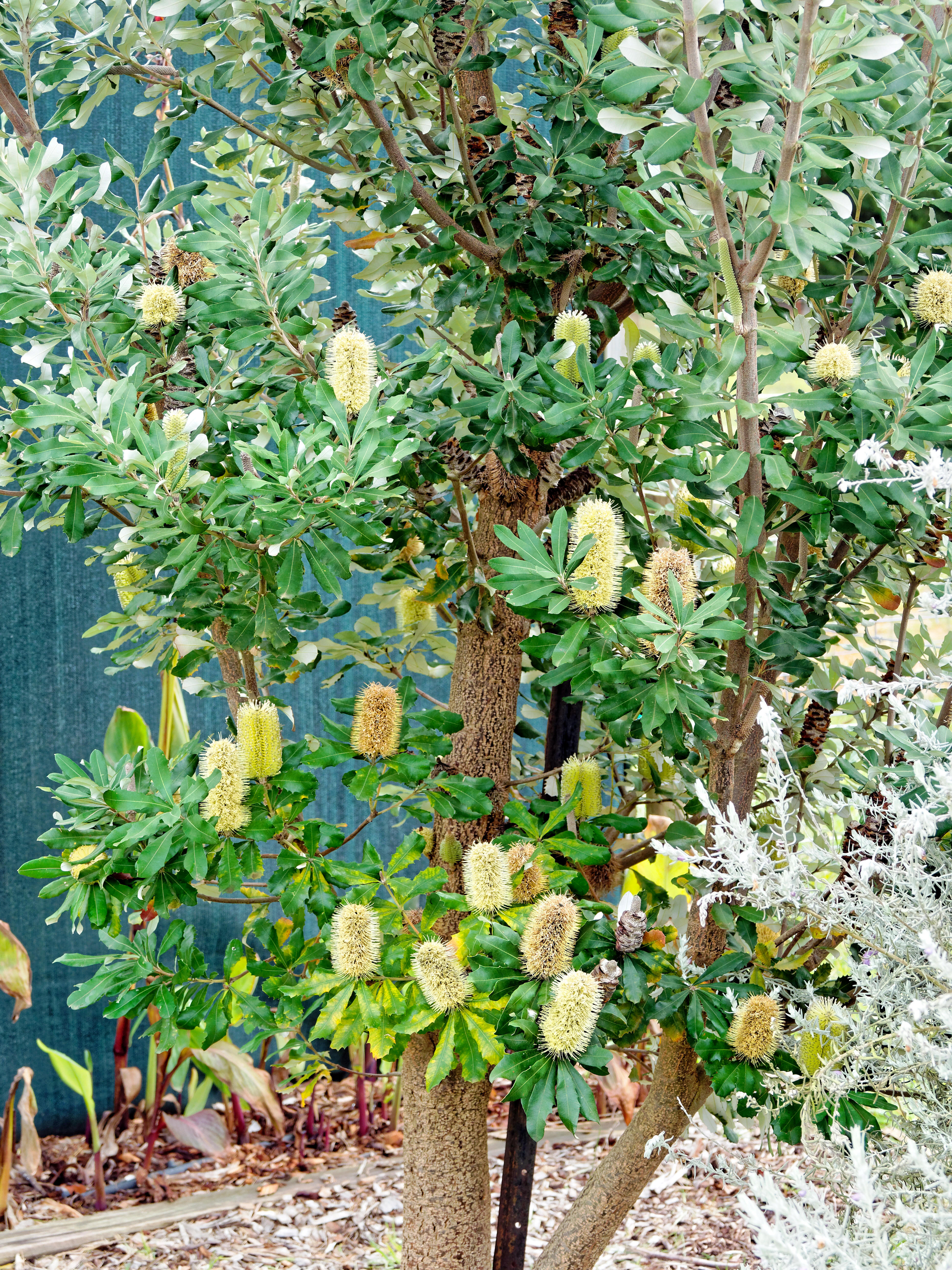 This should be Banksia-1.jpeg.  Is it missing?