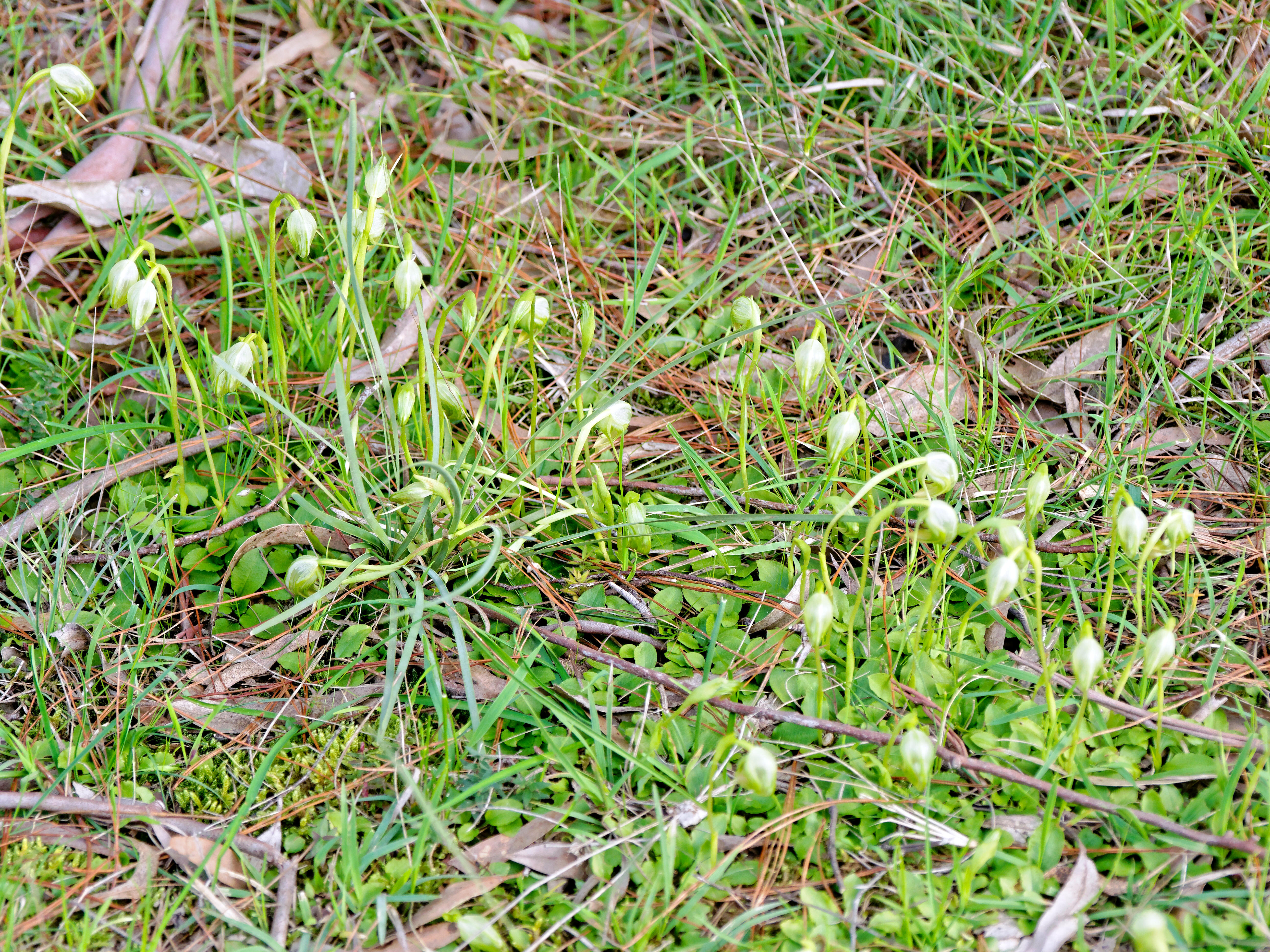 This should be Pterostylis.jpeg.  Is it missing?