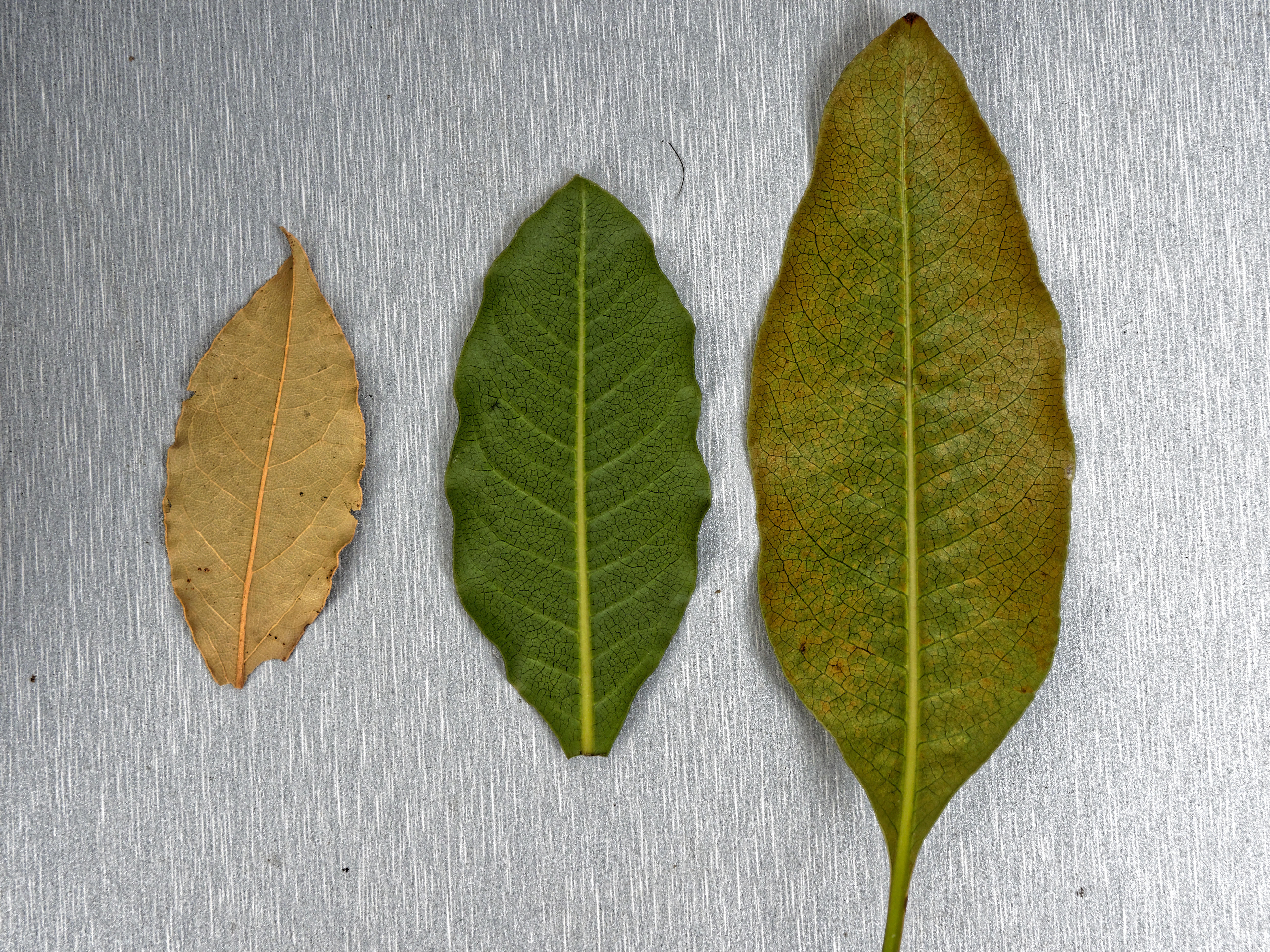 Bay-leaves-3.jpeg