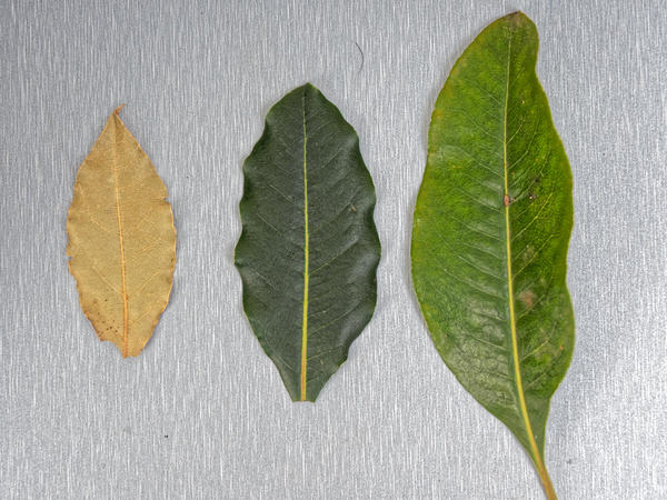 Bay-leaves-1.jpeg