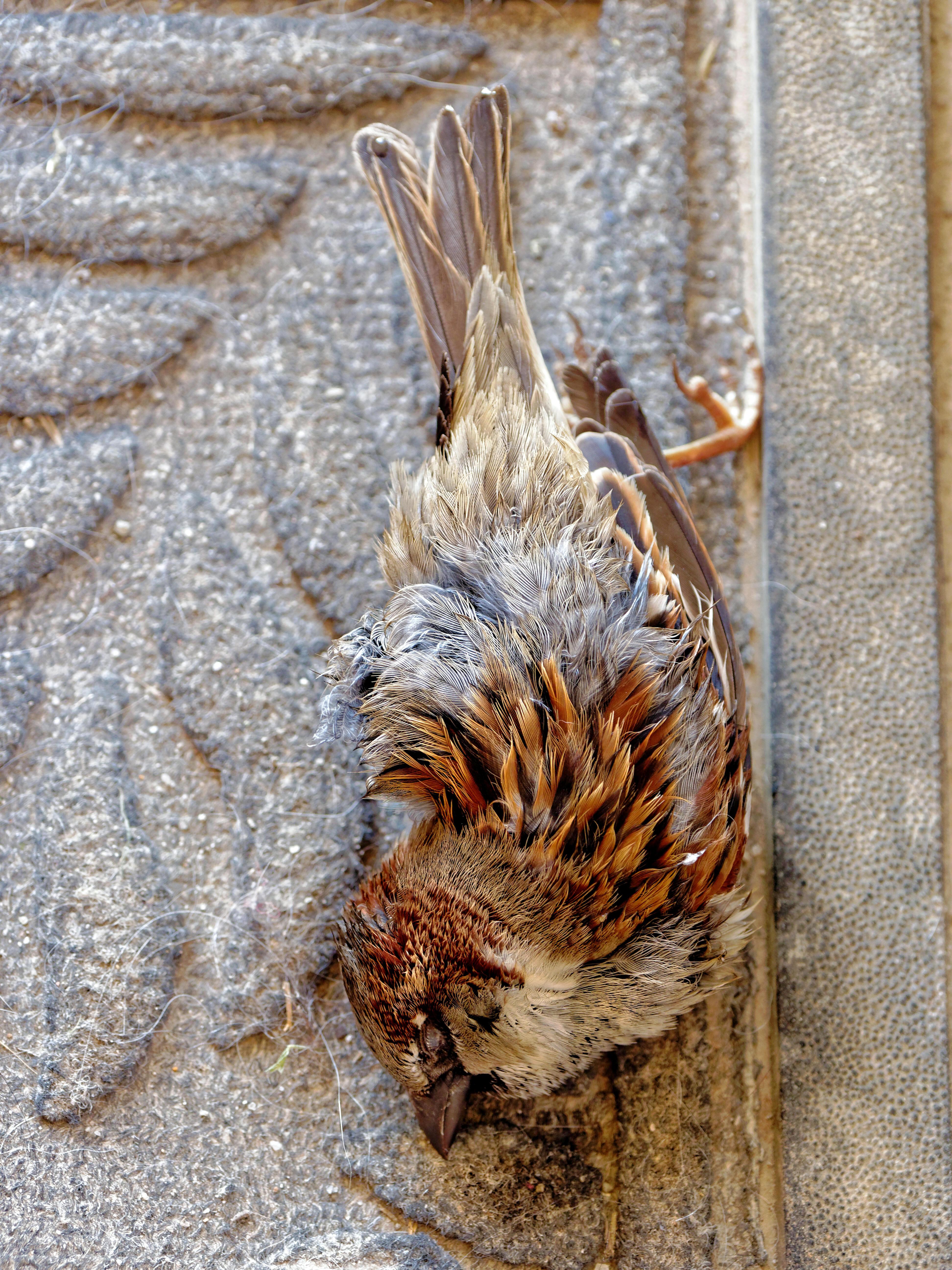 Dead-sparrow-3.jpeg