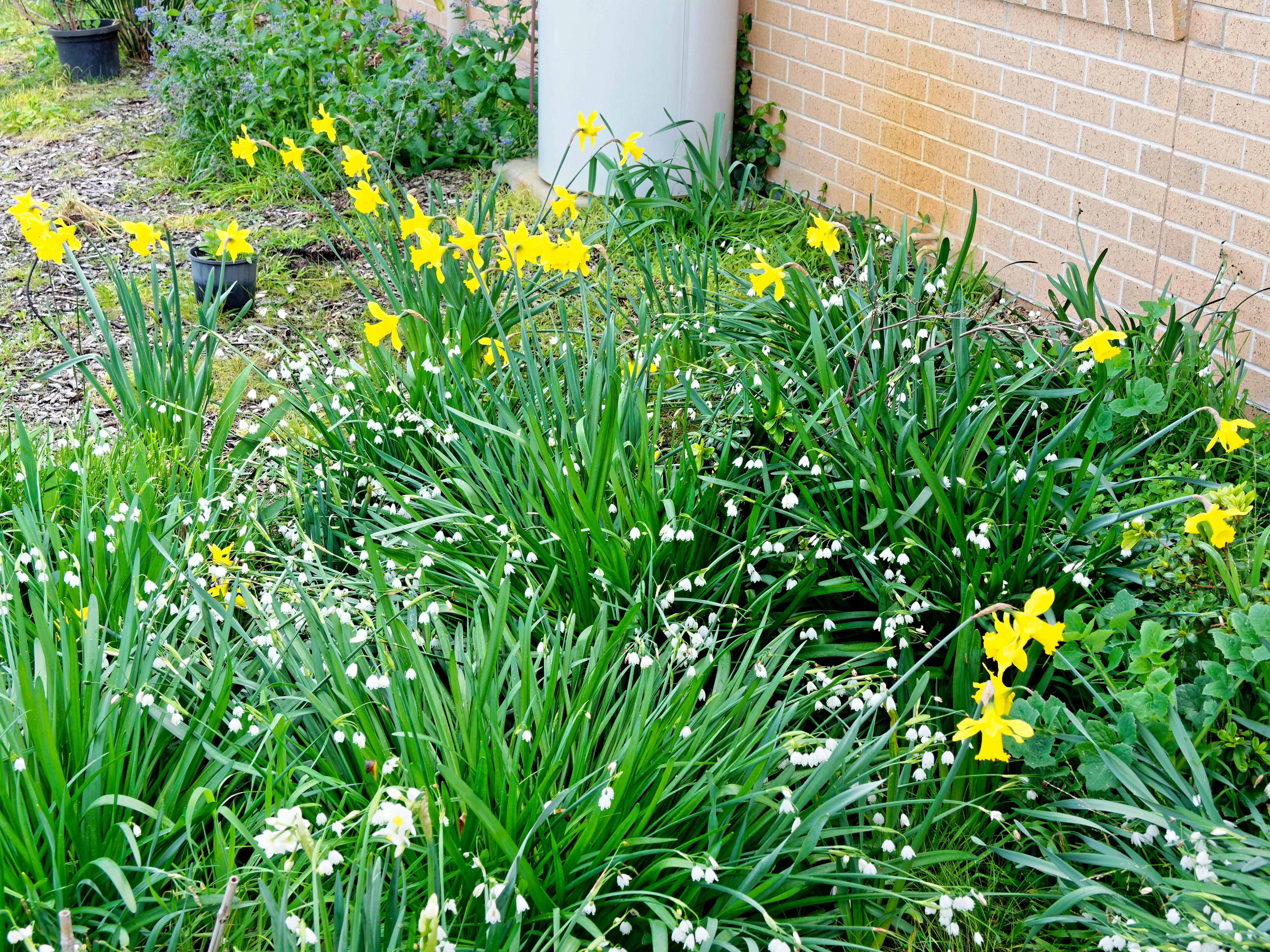 Daffodils-3.jpeg