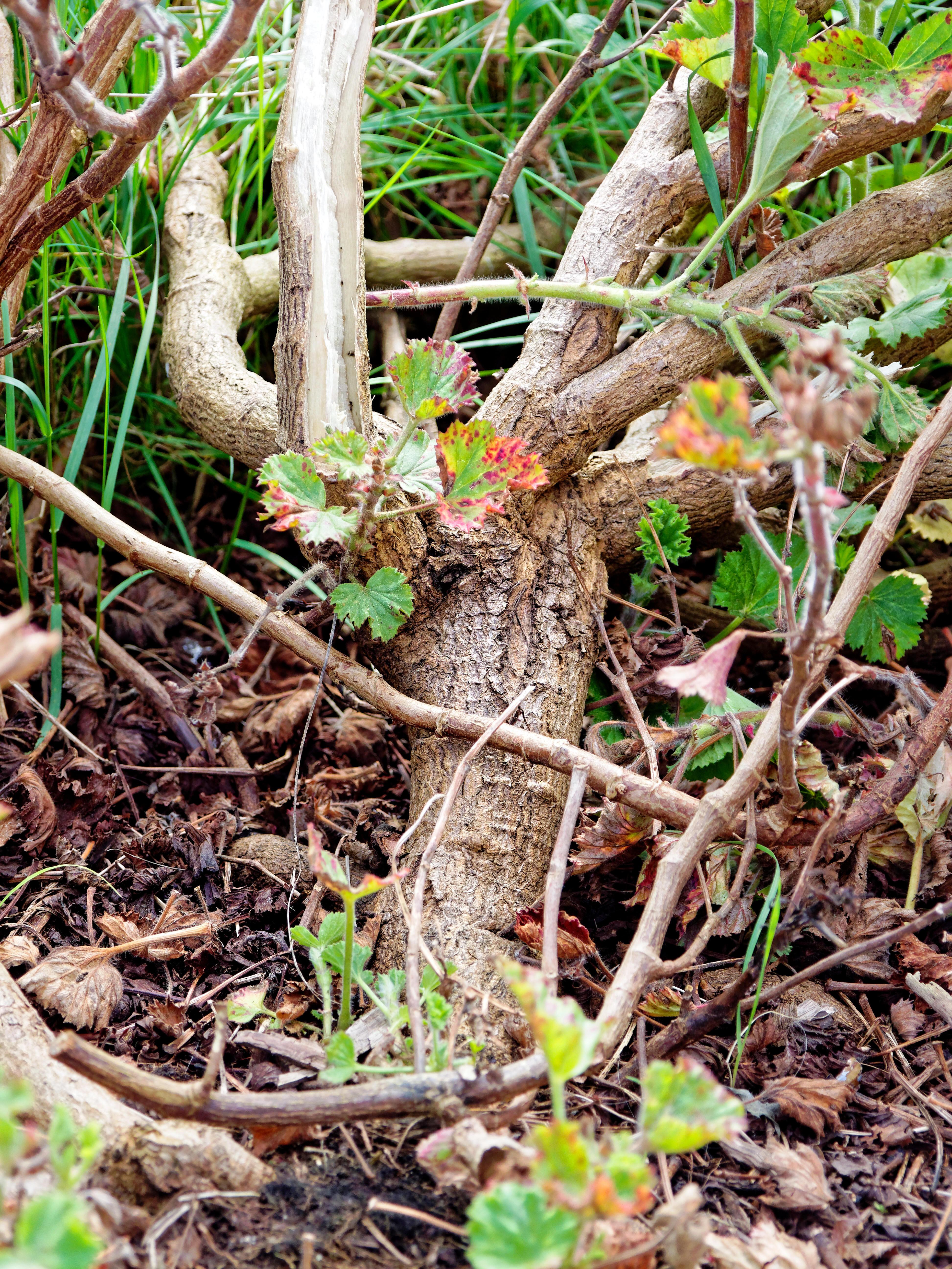 This should be Pelargonium-3.jpeg.  Is it missing?