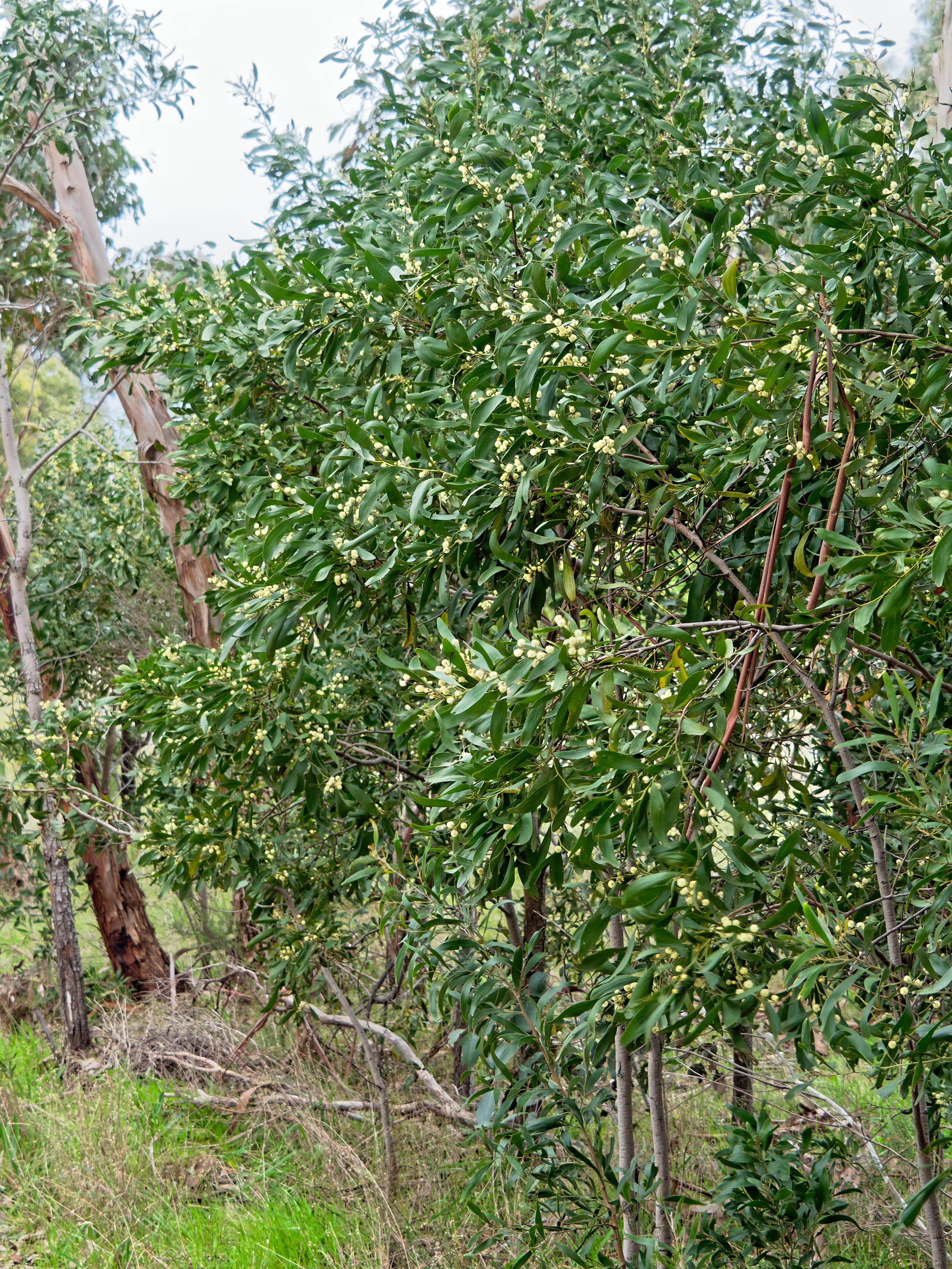 Acacia.jpeg