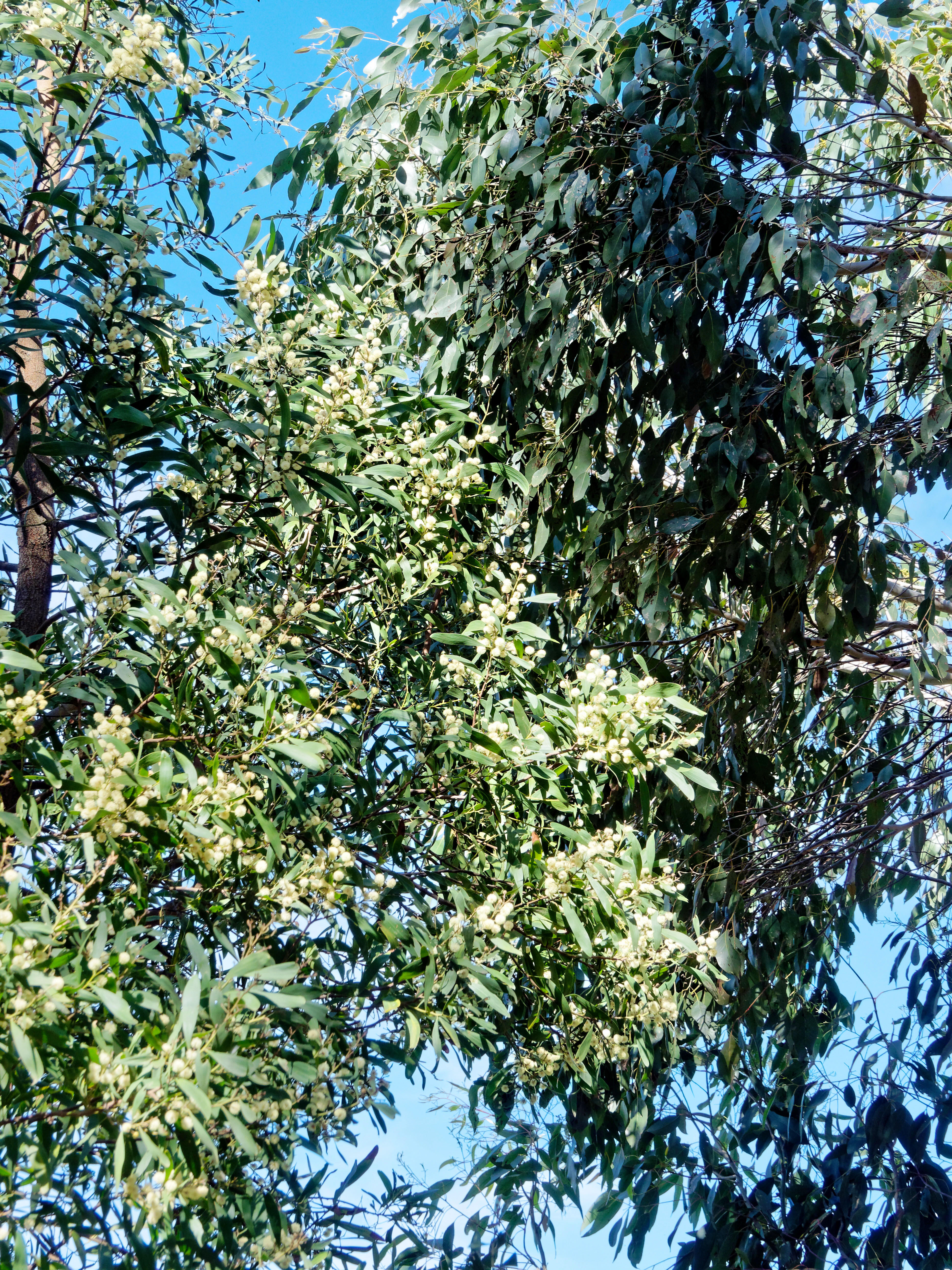 This should be Flowering-eucalypt-1.jpeg.  Is it missing?