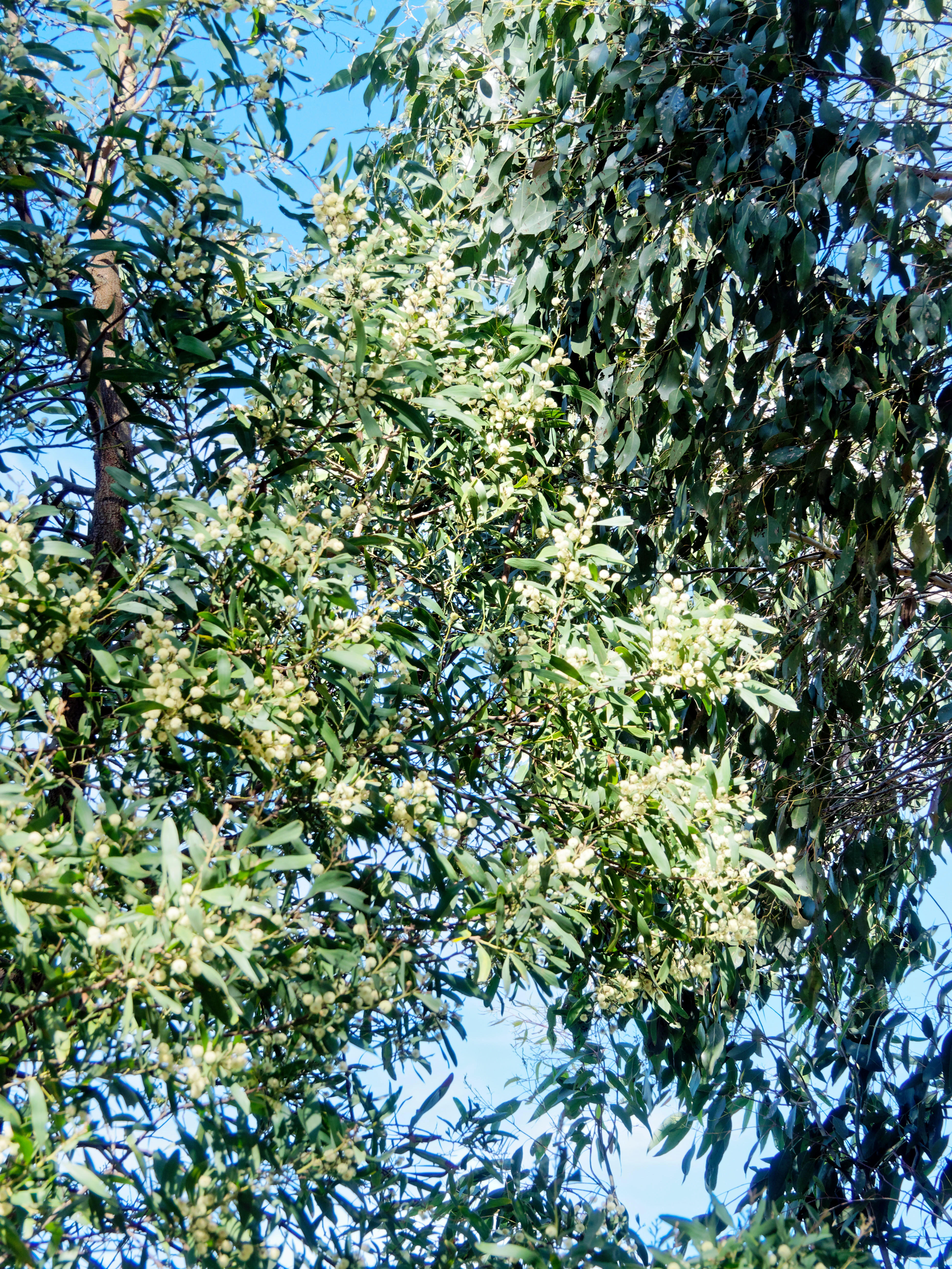 This should be Flowering-eucalypt-2.jpeg.  Is it missing?