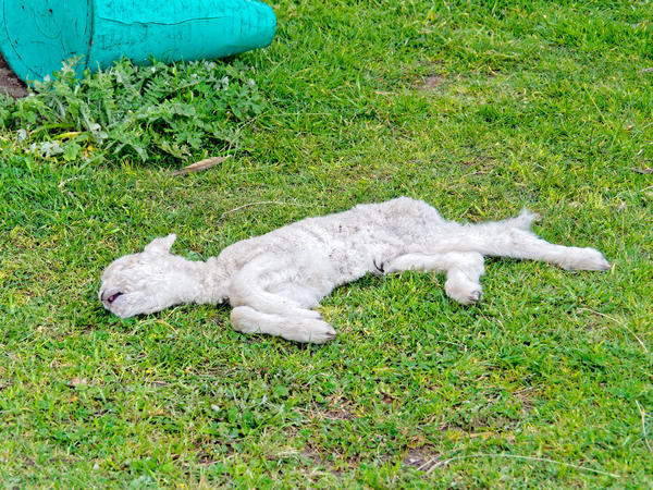 Dead-lamb.jpeg