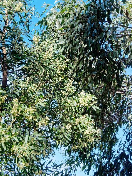 Flowering-eucalypt-1.jpeg