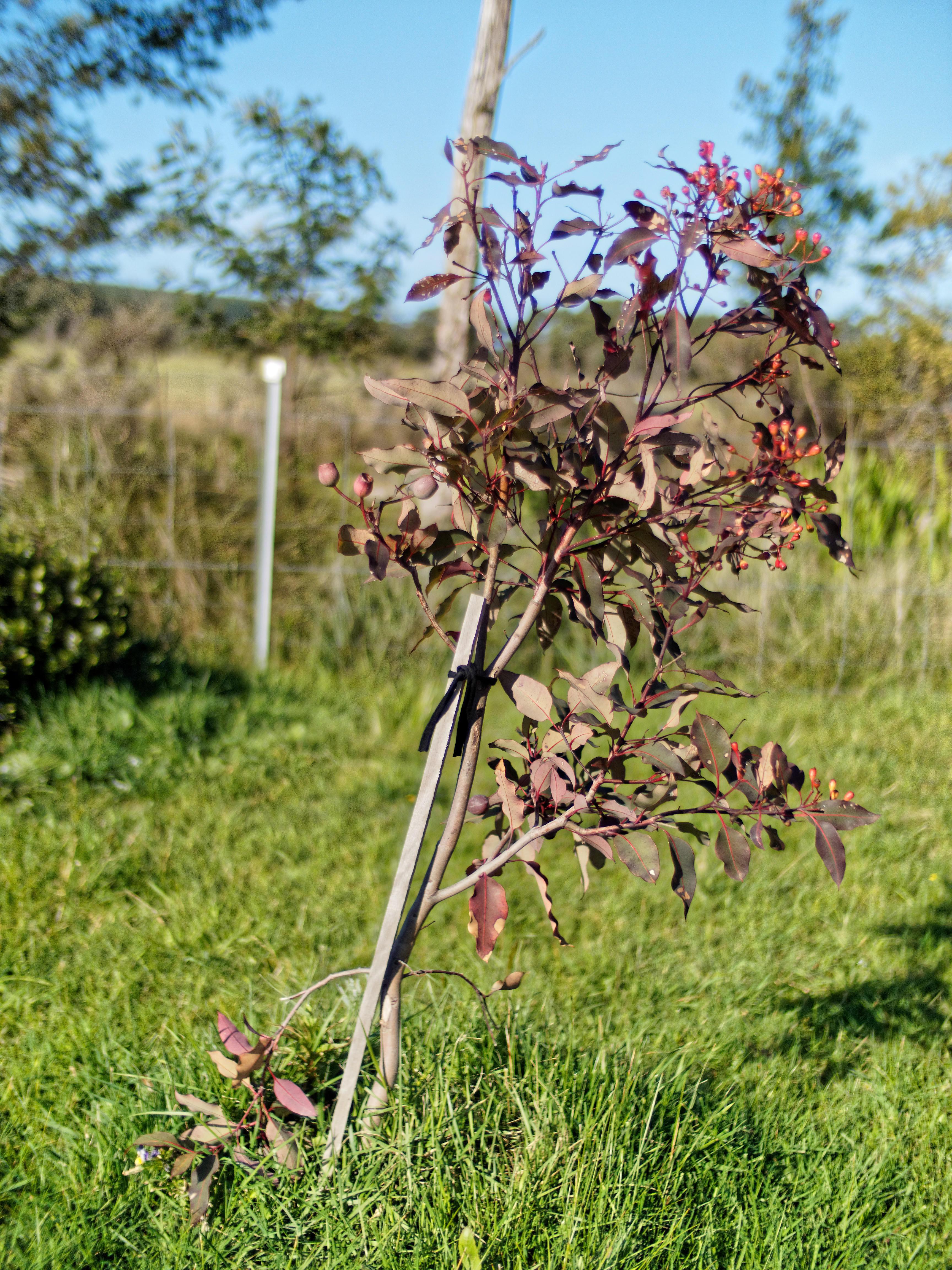 Corymbia-ficifolia-8.jpeg