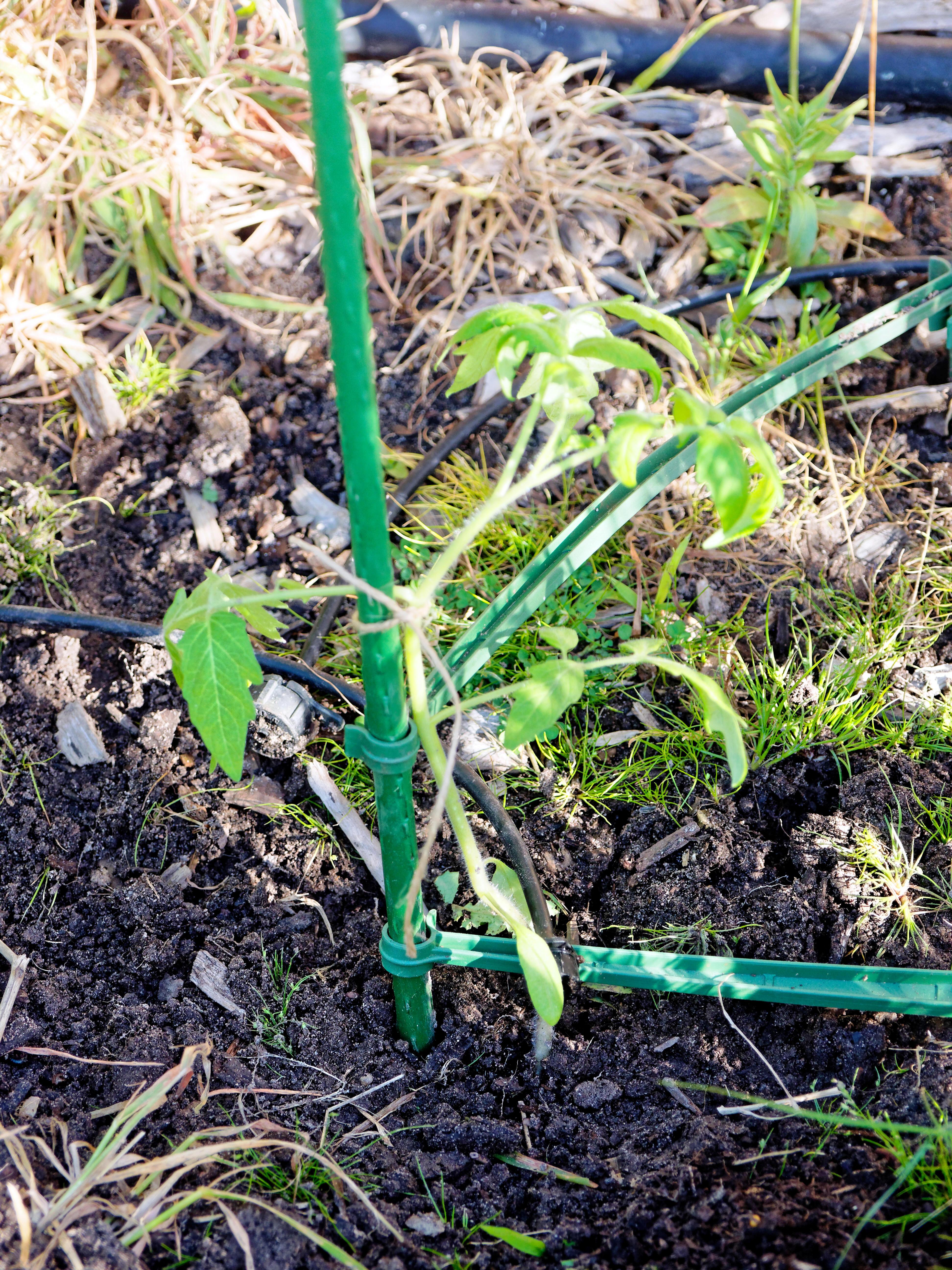 Tomato-Grosse-Lisse-2.jpeg