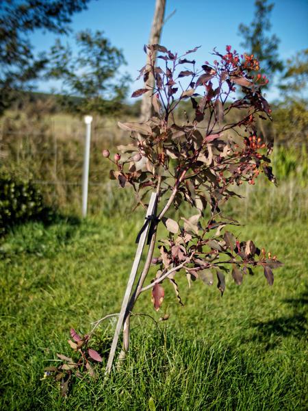 Corymbia-ficifolia-7.jpeg