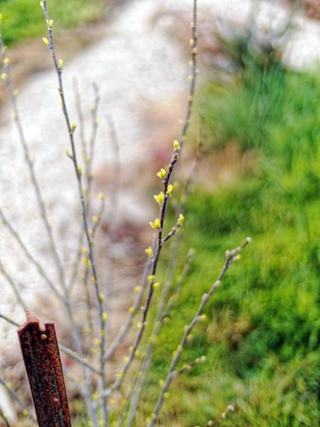 Hibiscus-syriacus.jpeg