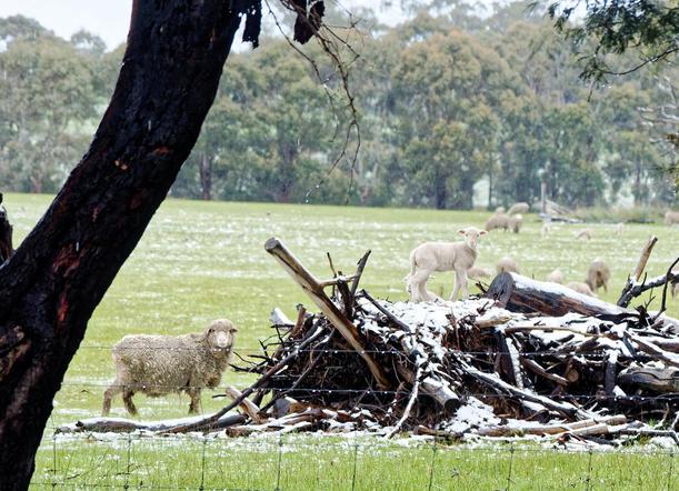 lambs-3.jpeg