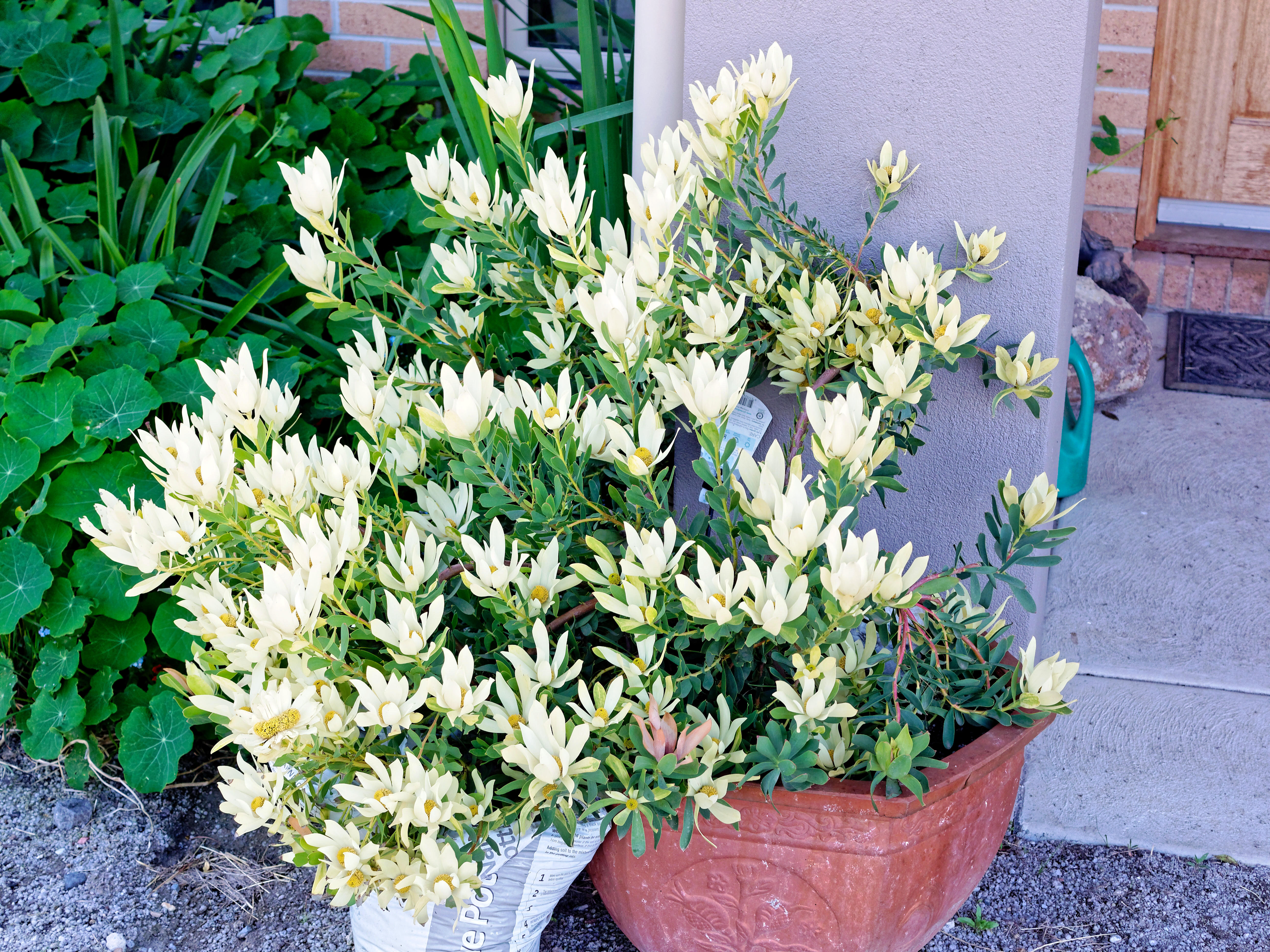 This should be Leucadendron-1.jpeg.  Is it missing?