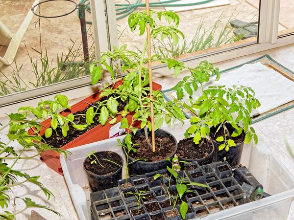 Tomatoes-indoors.jpeg