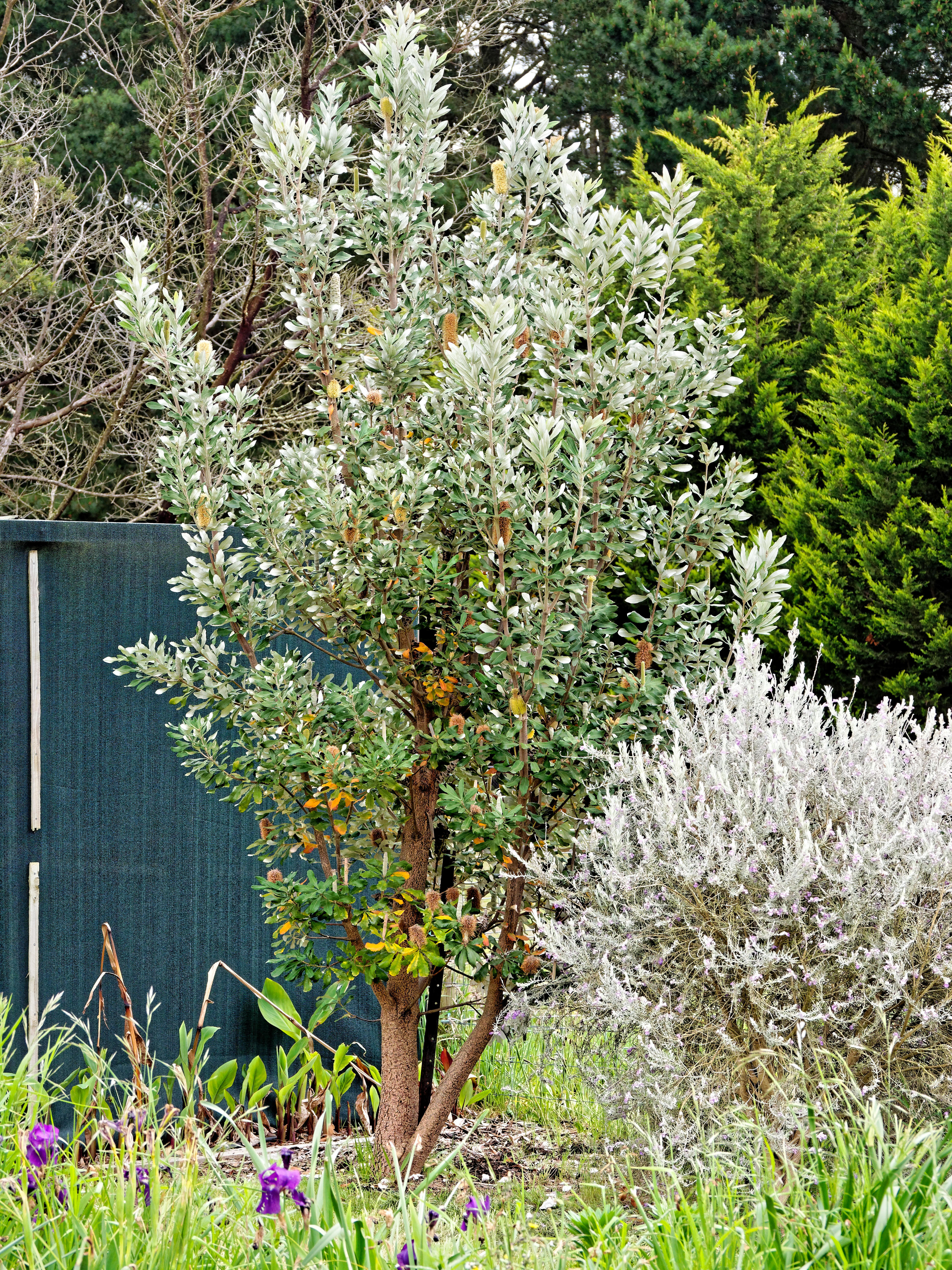 This should be Banksia-integrifolia-1.jpeg.  Is it missing?
