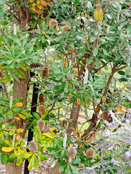 Banksia-integrifolia-4.jpeg